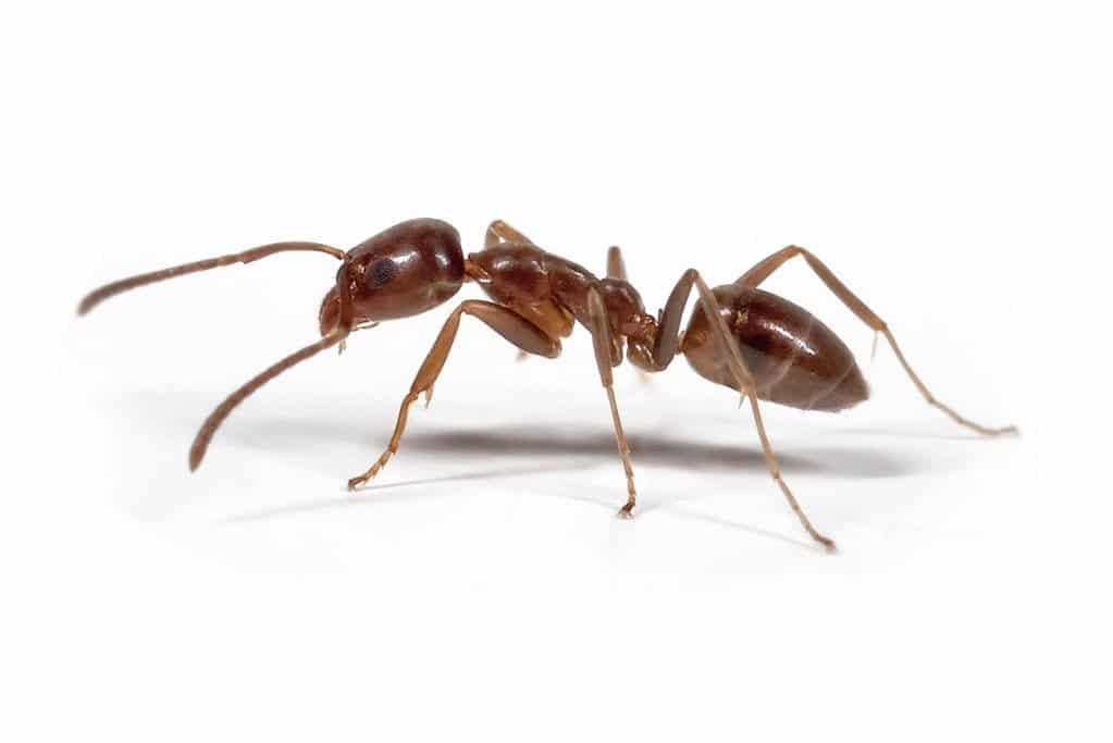 Argentine ant 1 1
