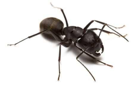 Carpenter ant 1