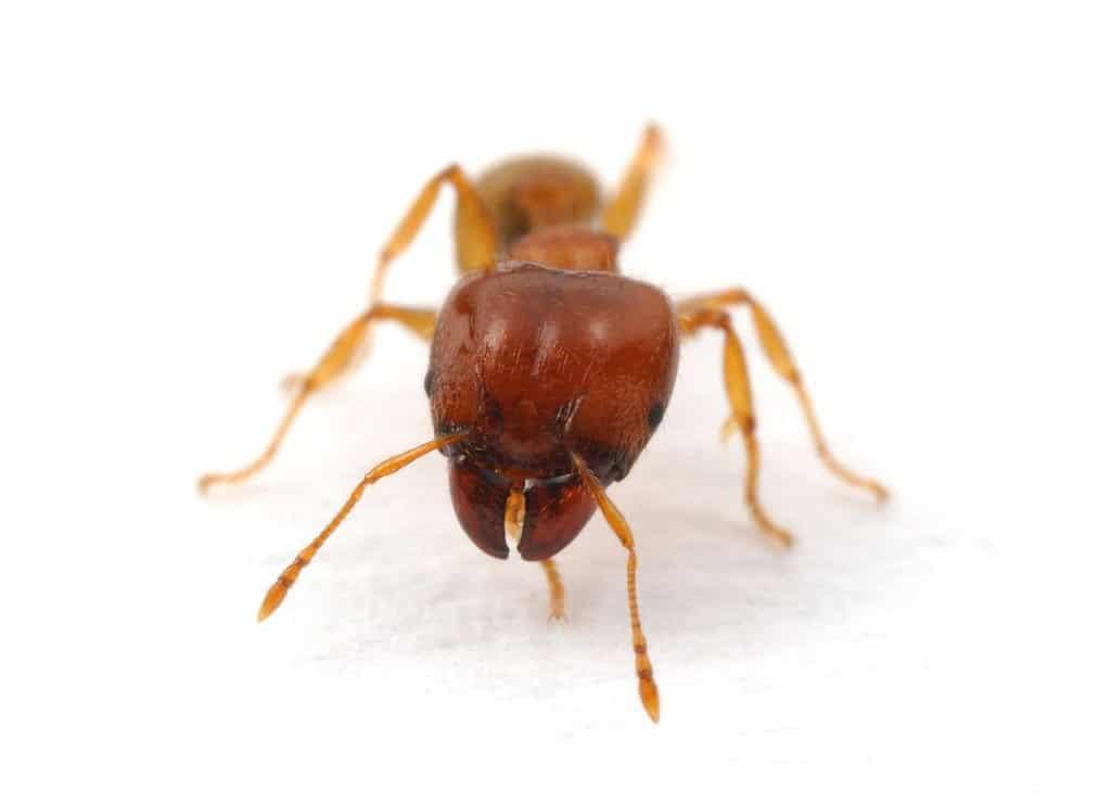 Coastal Brown ant 1