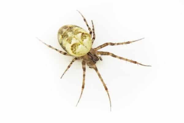 Common garden orb weaver spider 1