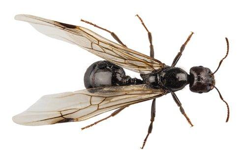 Flying ant 1