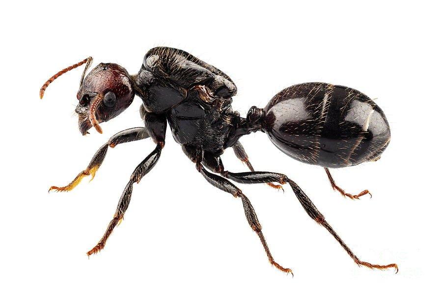 Garden ant 1