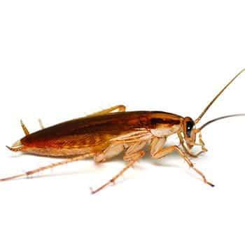 German cockroach 1