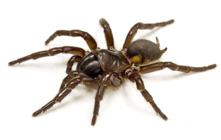 Hadronyche formidabilis spider 1