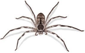 Huntsman spider 1