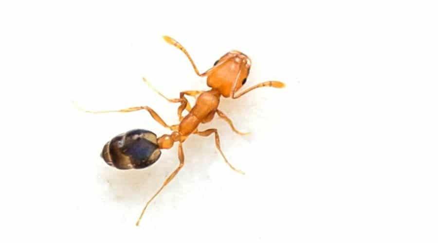 Pharaoh Ant 1