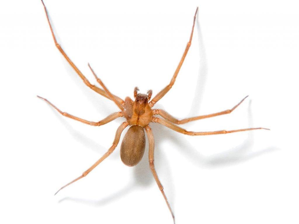 Recluse spider 1