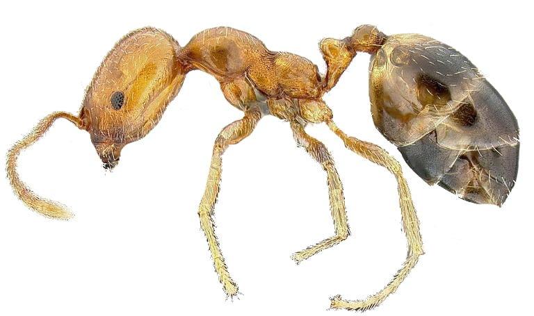 Singapore ant 1