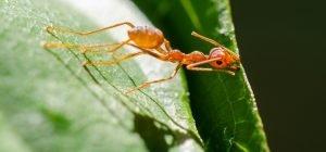 Stinging Funnel Ants