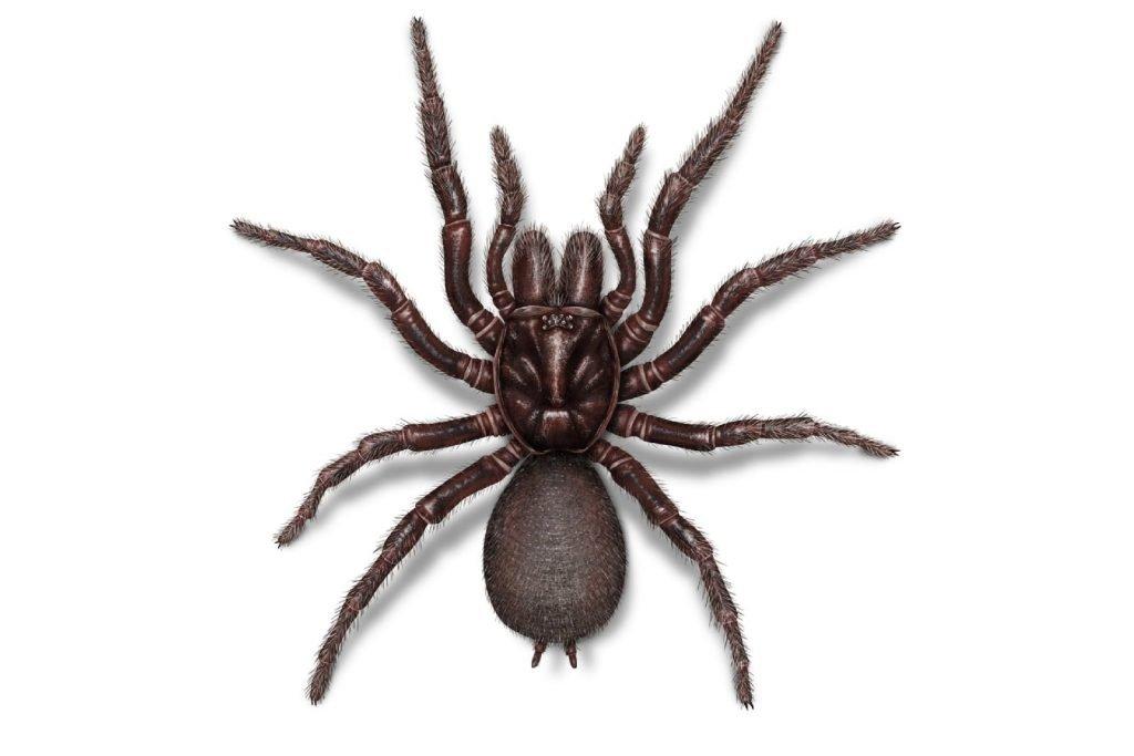 Sydney funnel spider 2