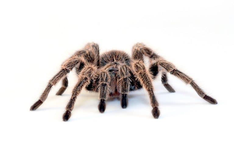 Tarantura spider 1