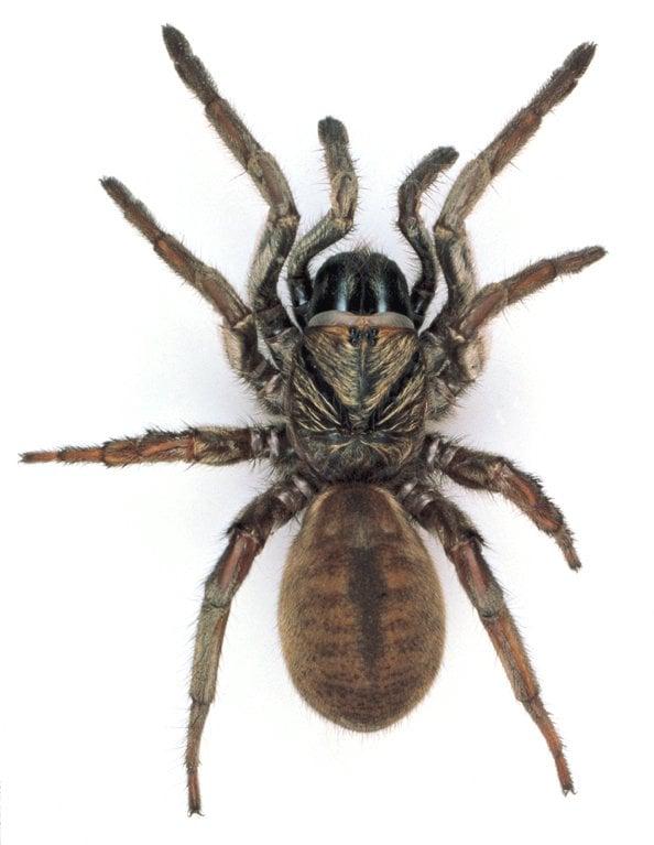 Trapdoor spider 2