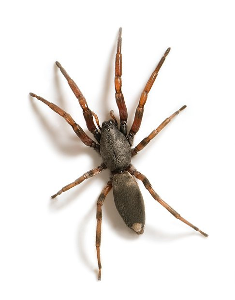 White tailed spider 1